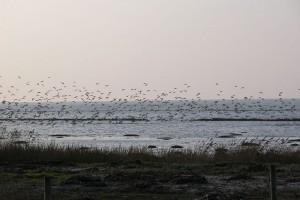 Vadehavet - fugletræk
